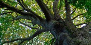 Holz vom Buchenbaum ist beliebt